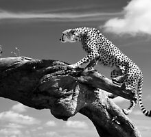 Cheetah climbing a log by Cedric Favero