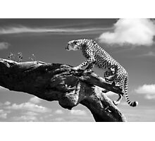 Cheetah climbing a log Photographic Print