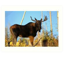 Fall Bull Moose  Art Print