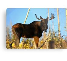 Fall Bull Moose  Metal Print
