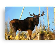 Fall Bull Moose  Canvas Print