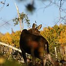 Fall Moose  by jeff welton