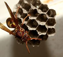 Paper Wasp by burnettbirder