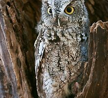 Screech Owl in stump by (Tallow) Dave  Van de Laar