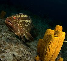 Grouper and Tube Sponge by Todd Krebs