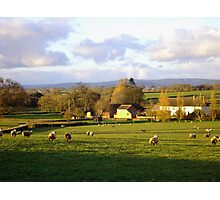 Sheep in the fields Photographic Print