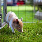 This Little Piggy... by Mark Goodwin