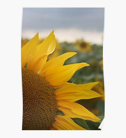 Sunflower, Loire Valley, France Poster