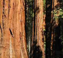 Mariposa Grove by Jacqueline Martin