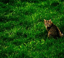 Cat in a field by farcaphoto