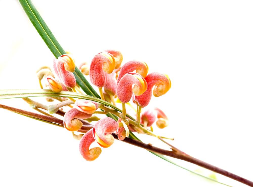 Flower Power - grevillea by Jenny Dean