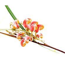 Flower Power - grevillea Photographic Print