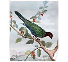 Pompadour Parrot Art Poster