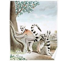 Ring-Tailed Lemurs Illustration Poster