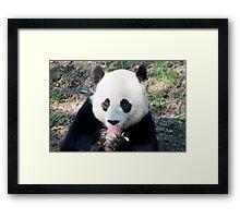 Giant Panda and Treat Framed Print