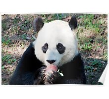 Giant Panda and Treat Poster