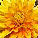 """""""Unfolding Dahlia Bloom"""" by AlexandraZloto"""