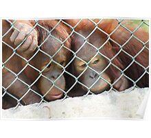 Hugging Orangutans Poster