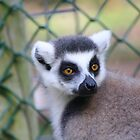 Lemur Close-Up by Jack Bailey