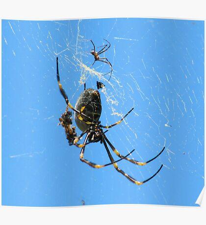 Balfour Spider Poster