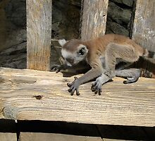Ring-tailed lemurs at Skansen (the zoo in Stockholm), 2007 by homesick