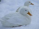 Duck Down - Stamford Park, Stalybridge by Chris Goodwin