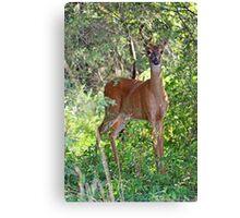 Whitetail Deer Buck in Velvet - 6 Pointer Canvas Print