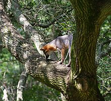 Fox in a Tree by tonymarsh