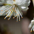 Cherry Blossoms Macro by jeliza