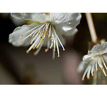 Cherry Blossoms Macro Photographic Print