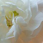 White Carnation Heart macro by jeliza