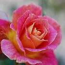 Oct Rose by Barbara Anderson
