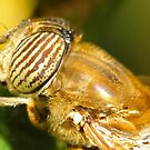 Hover fly (Eristalis) by Etwin