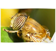 Hover fly (Eristalis) Poster