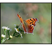 Question Mark butterfly... Photographic Print