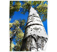 Aspen tree Poster