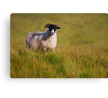 Scottish Blackface sheep on green field Canvas Print
