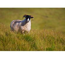Scottish Blackface sheep on green field Photographic Print