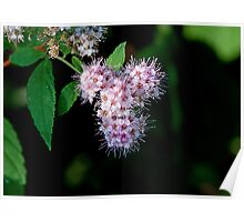 Meadowsweet Poster