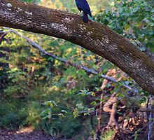Crow Over Back Creek Calling For Their Mate by Terry Aldhizer