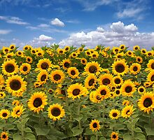 Sunflower Field With Heavenly Sky by Katrina Brown