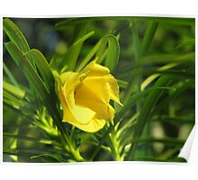 Yellow oleander flower Poster