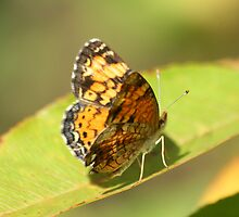 Pearl Crescent Butterfly by Terry Aldhizer