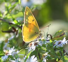Orange Sulfur Butterfly by Terry Aldhizer