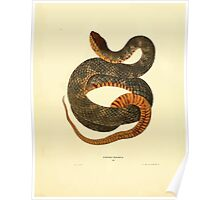 North American Herpetology A Desciption of the Reptiles Inhabiting the United States Chichowski John Edwards Holbrook 1838  0182 Snake Poster