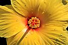 Buttery Yellow Hibiscus by DJ Florek
