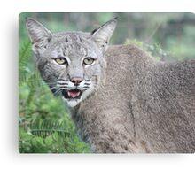 Max bobcat Canvas Print