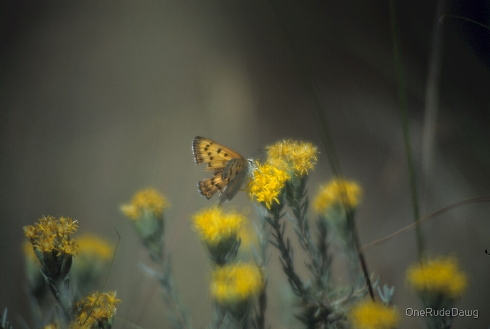 Butterfly And Rabbit Brush by OneRudeDawg