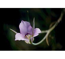 Sagebrush Mariposa Lily Photographic Print