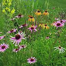 Coneflower Meadow by Betty Mackey
